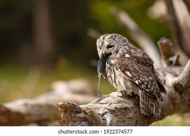Cárabo en el bosque con ratón en el pico. Búho marrón (Strix aluco) sentado en un árbol en el hábitat del bosque con captura. Hermoso pájaro en el bosque.