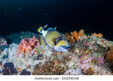 A Titan Triggerfish feeding on a dark coral reef