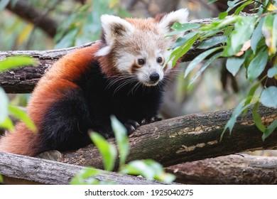 Nettes flauschiges rotes Pandajunges im Sommerwald. Porträt des jungen kleinen Pandas oder Firefox (Ailurus fulgens) auf dem Baum zwischen grünen Blättern.