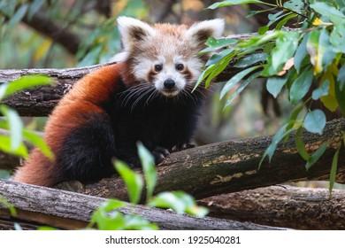 Nettes flauschiges rotes Pandajunges auf dem Baum. Junger kleiner Panda oder Firefox (Ailurus fulgens) auf dem dicken Ast zwischen grünem Laub.