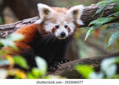 Nettes flauschiges rotes Pandajunges nah oben. Junger kleiner Panda oder Firefox (Ailurus fulgens) auf dem Ast.