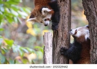 Zwei rote Panda-Jungen auf dem Baum. Niedliche flauschige junge kleine Pandas oder Firefox (Ailurus fulgens), die einen Baum klettern.