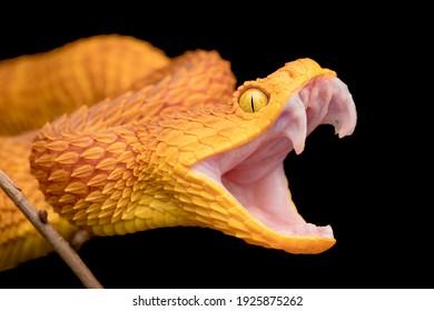 The fangs of a venomous bush viper snake