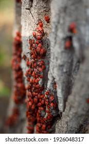 Feuerwanze oder Feuerwanze - rote Wanze mit schwarzen Punkten auf Holzhintergrund. Rote Käfer oder Feuerwanzen Nahaufnahme. Gruppe Herbstfeuer rote Käfer. Feuerwanze (Pyrrhocoris apterus
