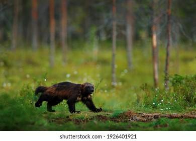 Wolverine running  in Finnish taiga. Wildlife scene from nature. Rare animal from north of Europe. Wild wolverine in summer grass. Wildlife Europe.