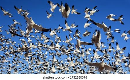 ニューメキシコ州ソコロ近くのボスクデルアパッチ国立野生生物保護区で、晴れた冬の日に飛行中の白い雪のガチョウの巨大な群れのクローズアップ