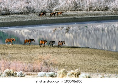 Wild Mustang Horses walking along Washoe Lake in Northern Nevada near Reno.