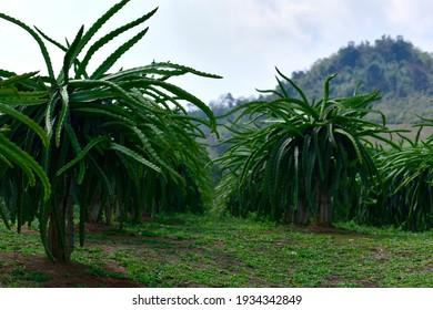 Early varieties dragon fruit plants in garden. field of fruit tree planting (dragon fruit) in Thailand.