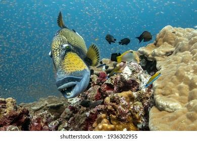 Titan Triggerfish in thailand north andaman