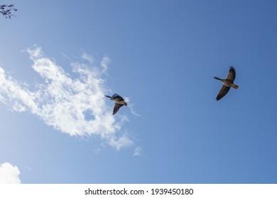 青い空に2匹のガチョウを並べて飛ぶ