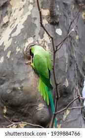 ワカケホンセイインコPsittaculakrameriは、春に巣穴のある木の繁殖巣で繁殖し、エキゾチックな鳥のように緑色の羽と赤いくちばしを持つ小さな幼鳥の卵を産みます。