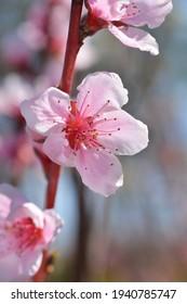 Nectarine Stark Redgold Blüten - lateinischer Name - Prunus persica var. nucipersica Stark Redgold
