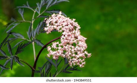 Amazing blossoming of black elder sambucus (Sambucus nigra) porphyrophylla 'Eva'. Black Lace cultivar. Macro of delicate pink inflorescence on green background. Selective focus. Nature concept