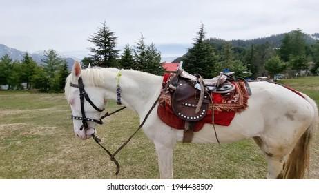 パキスタンのショグランに立つカマリロホワイトホース(Equus caballus)