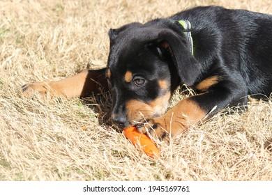 Cachorro de rottweiler comiendo una zanahoria