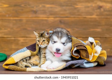 luffy Malamute puppy and tabby kitten sit. Cozy autumn concept