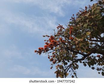 Butea monosperma o flor de teca bastarda en árbol en fondo de cielo azul. Flor autóctona de Butea. Plaso monosperma, Butea frondosa, Erythrina monosperma. Sus otros nombres incluyen llama del bosque.