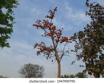 Butea monosperma o flor de palash de la India en árbol. Flor autóctona de Butea. Plaso monosperma, Butea frondosa, Erythrina monosperma. Sus otros nombres incluyen llama del bosque y teca bastarda.