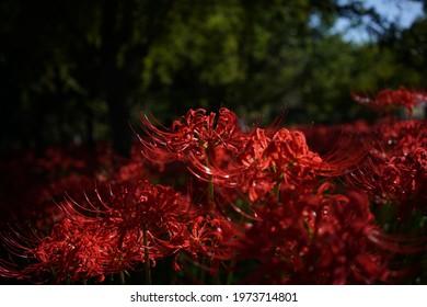 Red Flowers of Lycoris radiata in Full Bloom