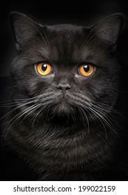 Porträt der schwarzen Katze auf schwarzem Hintergrund
