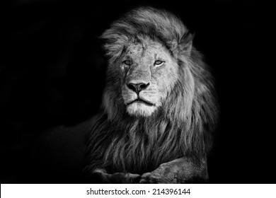 Schöner Löwe Romeo 2 in Masai Mara, Kenia