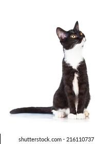 見上げる美しい若い黒と白の猫