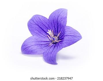 Lila Glockenblume lokalisiert auf weißem Hintergrund