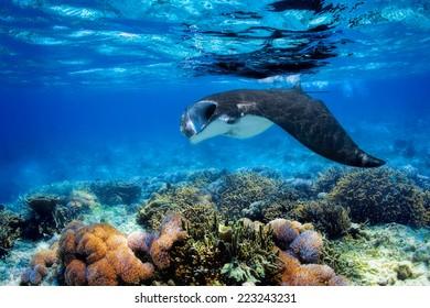 Manta ray filter voedt zich boven een koraalrif in de blauwe Komodo wateren