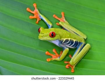 アカメアマガエルまたは派手な葉のカエルまたはAgalychniscallidryasは、パナマおよびコスタリカの中央アメリカの熱帯雨林に自生する樹上性のヒリドです。誤ってグリーンツリーフロッグとも呼ばれる
