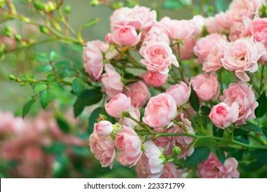 Hintergrund des Straußes des rosa blühenden Rosenstrauchs