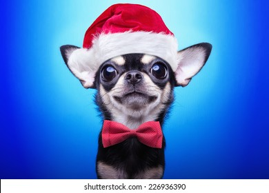 クリスマスの衣装を着たスマートドッグ。サンタクロースに扮した。年末年始