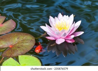 Goldfisch, der unter einer rosa Seerosenblüte schwimmt