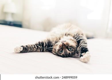 ベッドに横になってストレッチしている灰色の猫