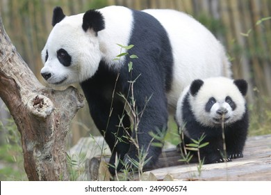 PANDA-TRIPLETTEN HALBGEBURTSTAG Die Drillinge, die am 1. Februar das Alter von 6 Monaten erreichten, waren die vierten Riesen-Panda-Drillinge, die mit Hilfe künstlicher Befruchtungsverfahren in China geboren wurden.