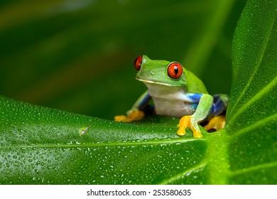 大きなヤシの葉の上の赤い目のアマガエル/赤い目のアマゾンの木のカエル/赤い目のアマゾンの木のカエル(Agalychnis Callidryas)