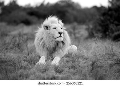 非常に印象的なたてがみを持つ巨大な野生の白い雄ライオンは、空気の匂いを嗅ぎながら誇らしげに座っています。