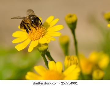 A bee on yellow daisy flower, macro.