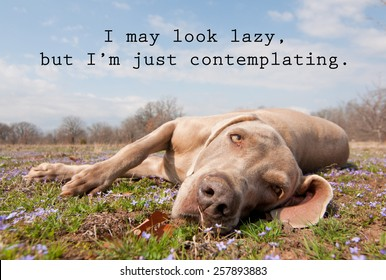 I may look lazy, but I'm just contemplating - quote with an image of a lazy dog lying in spring grass, looking at the viewer