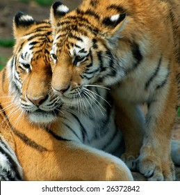 Una madre tigre y su cachorro.