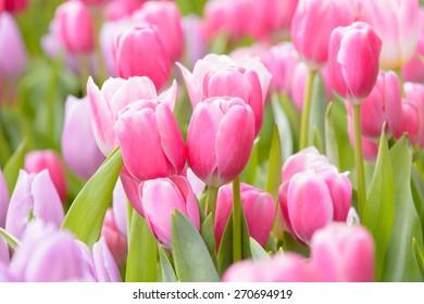 Tulpenblume schön in Gartenpflanze