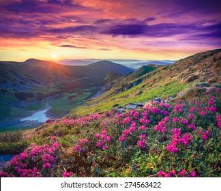 日の出の山のピンクのシャクナゲの花の花のじゅうたん