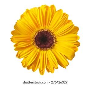 Gelbes Gerbera-Gänseblümchen lokalisiert auf Weiß