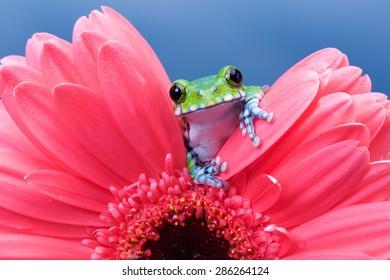ピンクのガーベラの孔雀アマガエル