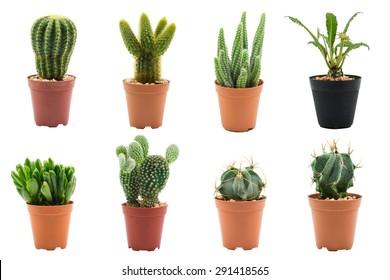 Cactus aislado sobre fondo blanco.