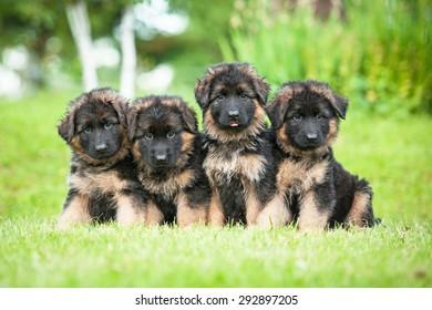Grupo de cuatro cachorros de pastor alemán