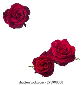 three  dark red rose close up  isolated on white background