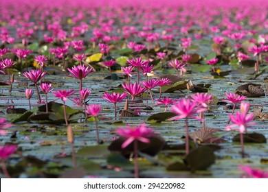 Тайское путешествие Одон Тани красное море лотоса