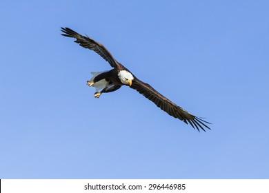 ミッションの白頭ワシ。雄大な白頭ワシは、青い空を駆け抜けるときに目的を持って見えます。