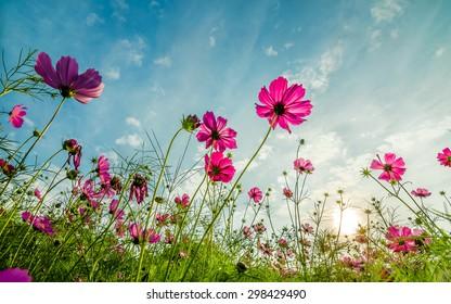 ヴィンテージスタイルのソフトフォーカスで青い空と雲の背景を持つ庭の紫、ピンク、赤、宇宙の花。