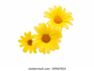 gelbes Gänseblümchen auf weißem Hintergrund